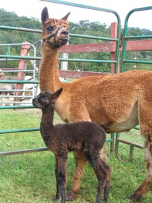 Baby and Mommy Alpaca on Farm